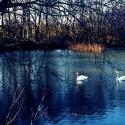 Swans [Mamiya-Sekor 55m / Kodak Ektar]
